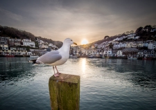 Looe Harbour Gull